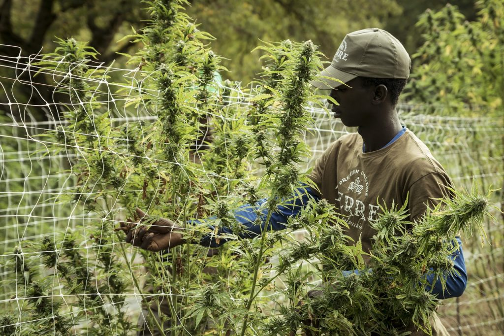 cannabis, hanf, cbd